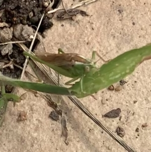 Conocephalus semivittatus at Murrumbateman, NSW - 26 Mar 2021