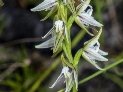 Prasophyllum striatum (Streaked Leek orchid) at Morton National Park - 29 Mar 2021 by Aussiegall