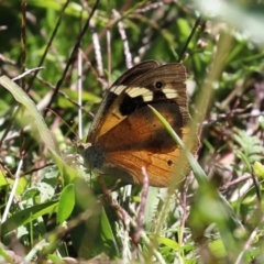 Heteronympha merope (Common Brown) at Isobella Pond - 29 Mar 2021 by RodDeb