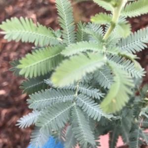 Acacia baileyana at Hughes Grassy Woodland - 21 Mar 2021