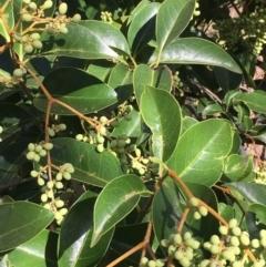 Ligustrum lucidum (Large-leaved Privet) at Mount Ainslie - 29 Mar 2021 by JaneR
