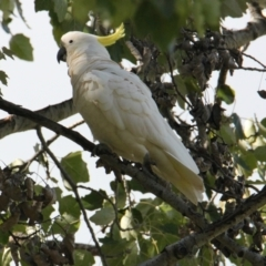 Cacatua galerita (Sulphur-Crested Cockatoo) at Belvoir Park - 28 Mar 2021 by PaulF