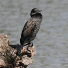 Phalacrocorax sulcirostris (Little Black Cormorant) at Belvoir Park - 28 Mar 2021 by PaulF