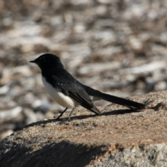 Rhipidura leucophrys (Willie Wagtail) at Belvoir Park - 28 Mar 2021 by PaulF