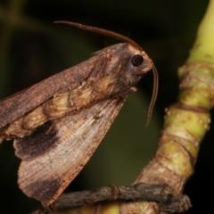 Fisera eribola (Orange-hooded Crest-moth) at Melba, ACT - 24 Mar 2021 by kasiaaus
