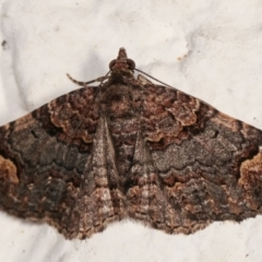 Epyaxa sodaliata (A geometer moth) at Melba, ACT - 24 Mar 2021 by kasiaaus