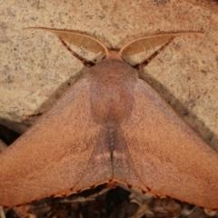 Monoctenia smerintharia (Dark Leaf Moth) at Melba, ACT - 24 Mar 2021 by kasiaaus