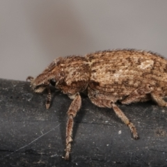 Listroderes difficilis (Vegetable weevil) at Melba, ACT - 24 Mar 2021 by kasiaaus