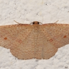 Epicyme rubropunctaria (Red-spotted Delicate) at Melba, ACT - 24 Mar 2021 by kasiaaus