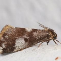 Anestia (genus) (A tiger moth) at Melba, ACT - 24 Mar 2021 by kasiaaus