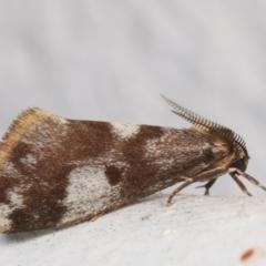 Anestia (genus) (A tiger moth) at Melba, ACT - 24 Mar 2021 by kasiaaus