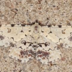 Sandava scitisignata (A noctuid moth) at Melba, ACT - 24 Mar 2021 by kasiaaus