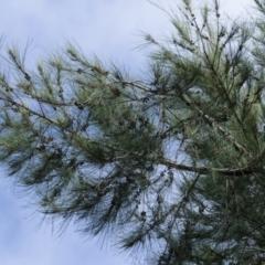Casuarina cunninghamiana subsp. cunninghamiana (River She-Oak, River Oak) at Melba, ACT - 24 Mar 2021 by kasiaaus