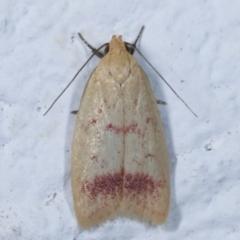 Heteroteucha occidua (A concealer moth) at Melba, ACT - 25 Mar 2021 by kasiaaus