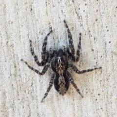 Clynotis severus (Stern Jumping Spider) at Goorooyarroo - 30 Mar 2021 by tpreston