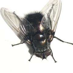 Rutilia (Donovanius) sp. (genus & subgenus) (A Bristle Fly) at City Renewal Authority Area - 23 Mar 2021 by Tapirlord