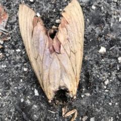 Abantiades hyalinatus (Abantiades hyalinatus) at Croajingolong National Park (Vic) - 21 Mar 2021 by rlnew