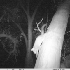 Trichosurus vulpecula (Common Brushtail Possum) at Wodonga - 18 Jul 2020 by DMeco