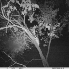 Pseudocheirus peregrinus (Common Ringtail Possum) at Wodonga - 20 Jul 2020 by DMeco