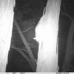 Pseudocheirus peregrinus (Common Ringtail Possum) at Wodonga - 16 Aug 2020 by DMeco