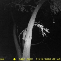 Trichosurus vulpecula (Common Brushtail Possum) at Wodonga - 13 Nov 2020 by DMeco