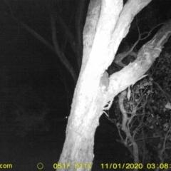 Pseudocheirus peregrinus (Common Ringtail Possum) at Wodonga - 31 Oct 2020 by DMeco