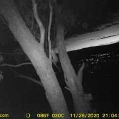 Trichosurus vulpecula (Common Brushtail Possum) at Wodonga - 26 Nov 2020 by DMeco