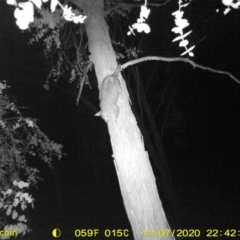 Trichosurus vulpecula (Common Brushtail Possum) at Wodonga - 7 Nov 2020 by DMeco