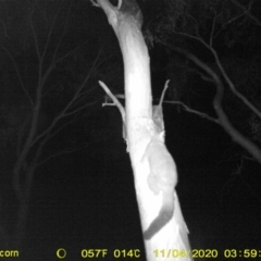 Trichosurus vulpecula (Common Brushtail Possum) at Wodonga - 3 Nov 2020 by DMeco