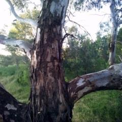 Gymnorhina tibicen (Australian Magpie) at Wodonga - 18 Nov 2020 by DMeco