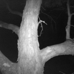 Trichosurus vulpecula (Common Brushtail Possum) at Wodonga - 18 Nov 2020 by DMeco