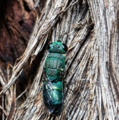 Chrysididae sp. (family) (Unidentified cuckoo wasp) at ANBG - 30 Mar 2021 by Roger
