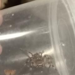 Unidentified Huntsman spider (Sparassidae) (TBC) at Albury - 30 Mar 2021 by alburycityenviros