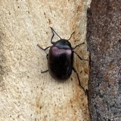 Chalcopteroides spectabilis (Rainbow darkling beetle) at Googong, NSW - 27 Mar 2021 by Wandiyali
