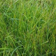 Cyperus sphaeroideus at Flea Bog Flat, Bruce - 30 Mar 2021