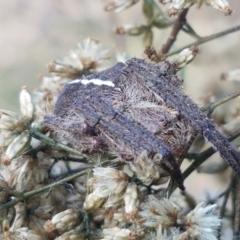 Araneinae (subfamily) at Flea Bog Flat, Bruce - 30 Mar 2021