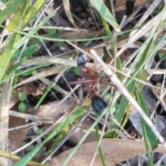 Myrmecia nigriceps at Flea Bog Flat, Bruce - 30 Mar 2021