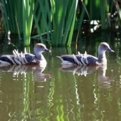 Dendrocygna eytoni (Plumed Whistling-Duck) at Fyshwick, ACT - 30 Mar 2021 by RodDeb