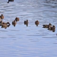 Dendrocygna eytoni at Jerrabomberra Wetlands - 30 Mar 2021