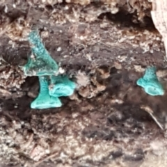 Chlorociboria (An elfcup fungus) at Flea Bog Flat, Bruce - 30 Mar 2021 by tpreston