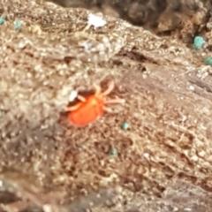 Acari sp. (informal subclass) (Unidentified mite) at Flea Bog Flat, Bruce - 30 Mar 2021 by tpreston