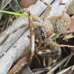 Neosparassus sp. (genus) (Unidentified Badge huntsman) at Flea Bog Flat, Bruce - 30 Mar 2021 by tpreston