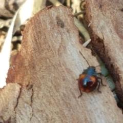 Oechalia schellenbergii (Spined Predatory Shield Bug) at Flea Bog Flat, Bruce - 30 Mar 2021 by tpreston