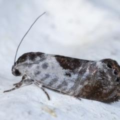 Eupselia carpocapsella (Common Eupselia Moth) at Melba, ACT - 26 Mar 2021 by kasiaaus