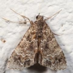 Arrade destituta (A Noctuid moth) at Melba, ACT - 26 Mar 2021 by kasiaaus