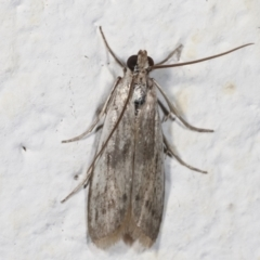 Unidentified Moth (Lepidoptera) (TBC) at Melba, ACT - 26 Mar 2021 by kasiaaus