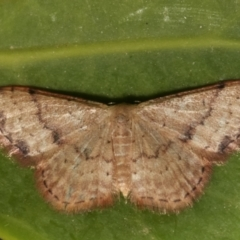 Idaea halmaea (Two-spotted Wave) at Melba, ACT - 26 Mar 2021 by kasiaaus