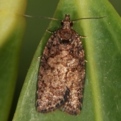 Thrincophora impletana (A Tortricid moth) at Melba, ACT - 26 Mar 2021 by kasiaaus