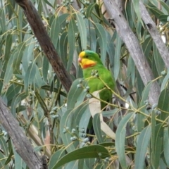 Polytelis swainsonii (Superb Parrot) at Point One - 24 Mar 2021 by JackyF