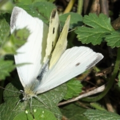 Pieris rapae (Cabbage White) at Red Hill Nature Reserve - 24 Mar 2021 by JackyF